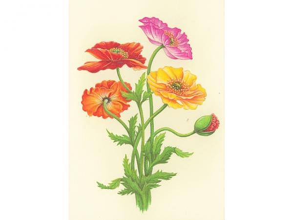 Karte Paula Skene Colorful Poppies 12,7x17,8cm