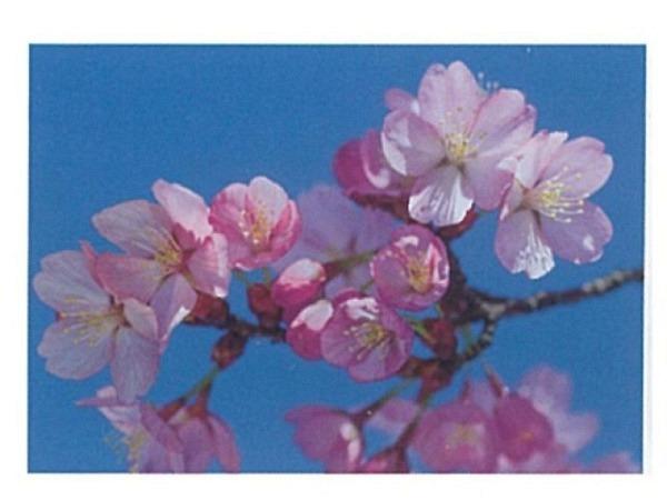 Karte Art Bula 12,2x17,5cm Pfirsichblüten-Ast