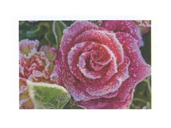 Karte Art Bula Winter mini 10,5x7,4cm pinke Rose vereist