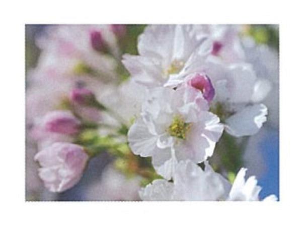 Karte Art Bula 12,2x17,5cm Apfelblütenblume weiss