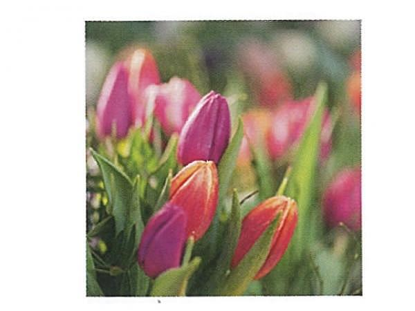 Karte Art Bula 12,2x12,2cm rote und pinke Tulpen im Feld