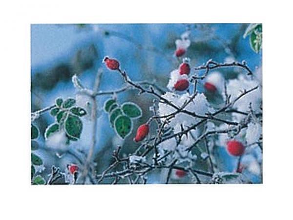 Karte Art Bula 12,2x17,5cm verschneite Hagebuttenzweige