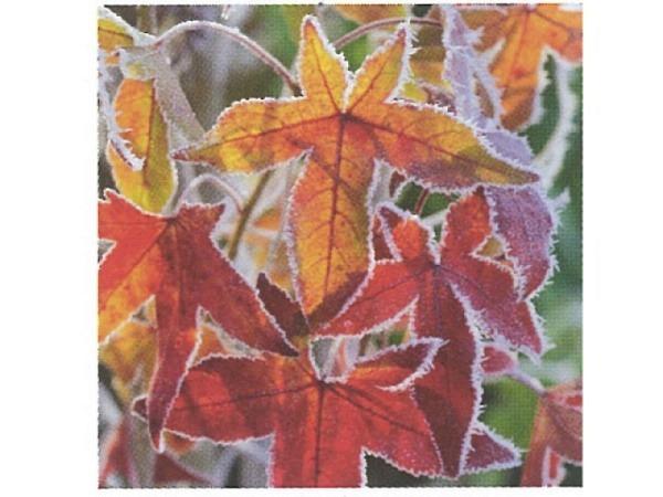 Karte Art Bula Winter rot-orangene Ahhornblätter vereist