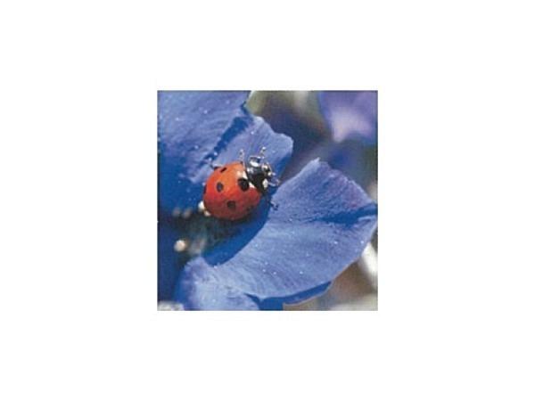 Karte Art Bula 12,2x12,2cm Marienkäfer auf blauer Blüte