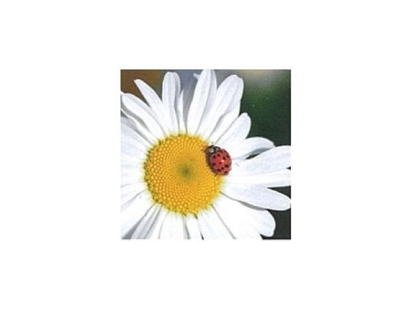 Karte Art Bula 12,2x12,2cm Marienkäfer auf weisser Blume