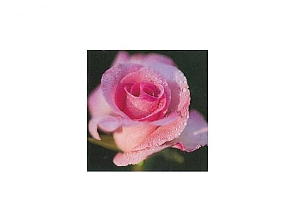 Karte Art Bula 12,2x12,2cm Rosenblüte im Morgentau