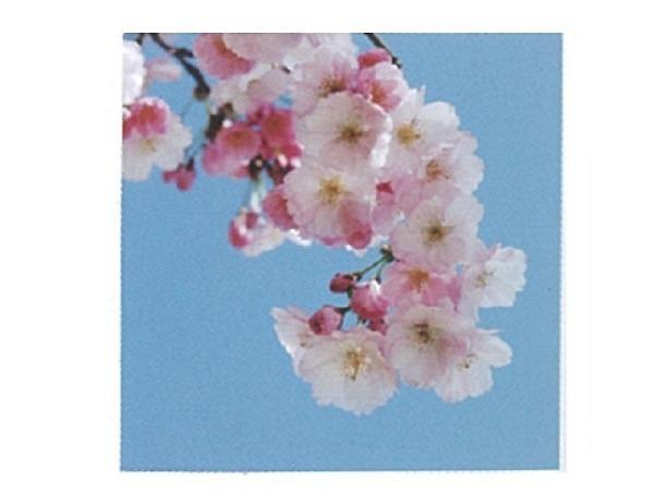 Karte Art Bula 12,2x12,2cm Ast mit Pfirsichblüten