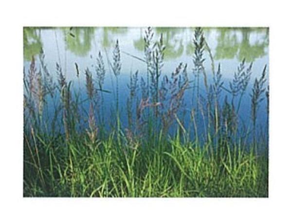 Karte Art Bula 12,2x17,5cm Reitgras bei einem See