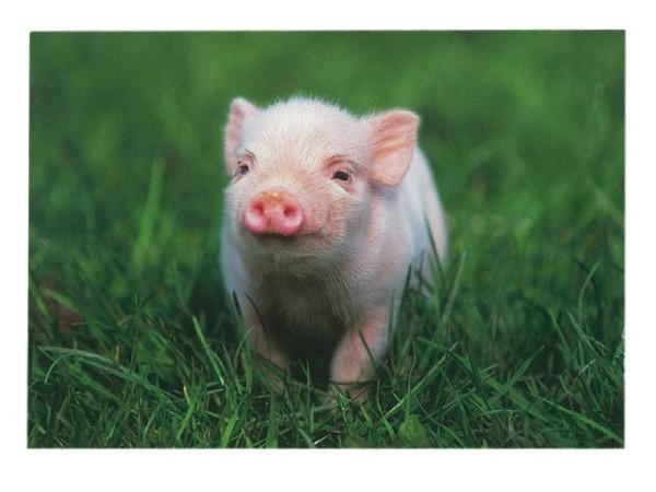 Karte Hartung Baby-Schweinchen auf einer Wiese