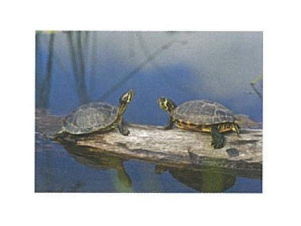 Postkarte Art Bula 10,5x14,8 zwei Schildkröten auf Baumstamm