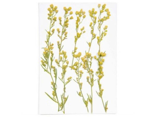 Streudeko Rico Design Gepresste Pflanzen, Kanadisches Berufkraut 6Stk.