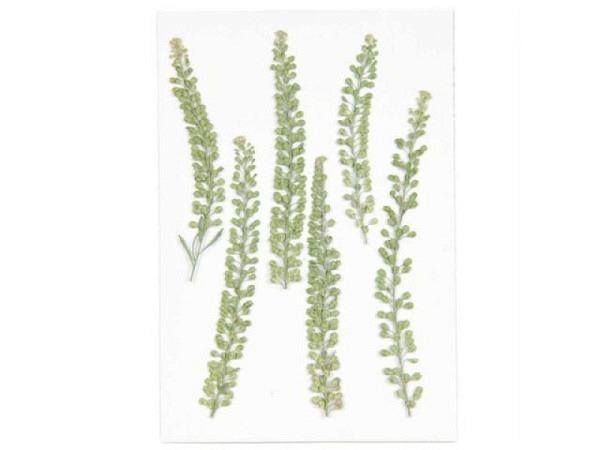 Streudeko Rico Design Gepresste Pflanzen, Kresse 6Stk.