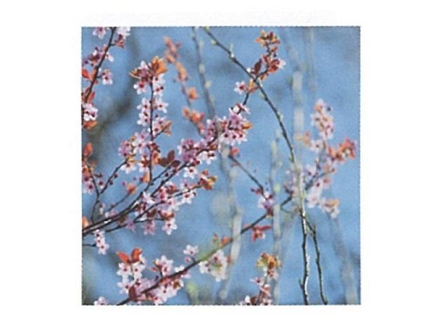 Karte Art Bula 12,2x12,2cm Äste mit kleinen rosa Blüten