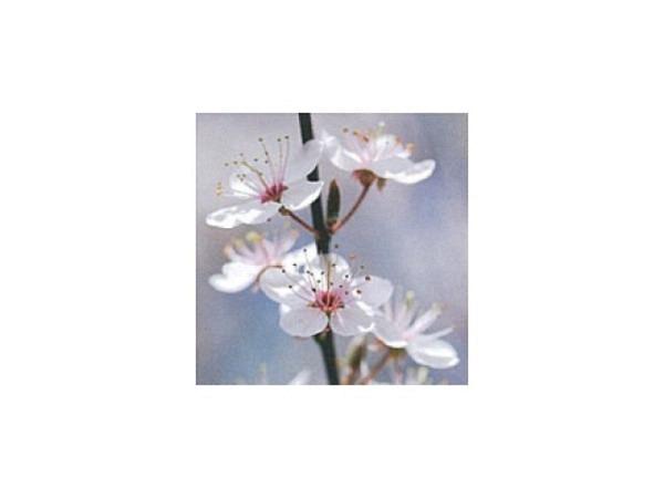 Karte Art Bula 12,2x12,2cm Fruchtblüten an schwarzem Ast